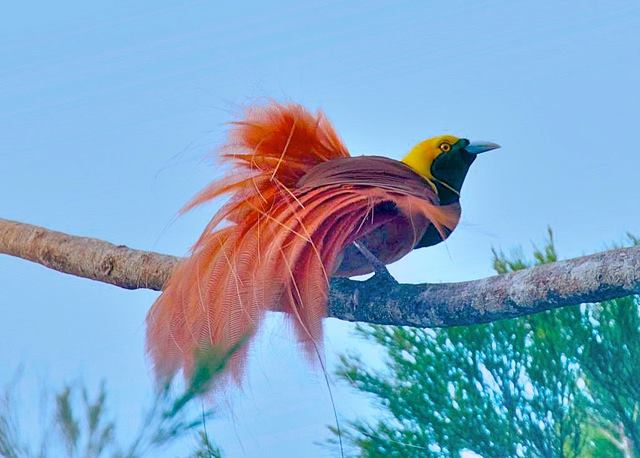 Raggiana Bird of Paradise is PNG's national bird